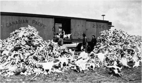 Massacre bisons